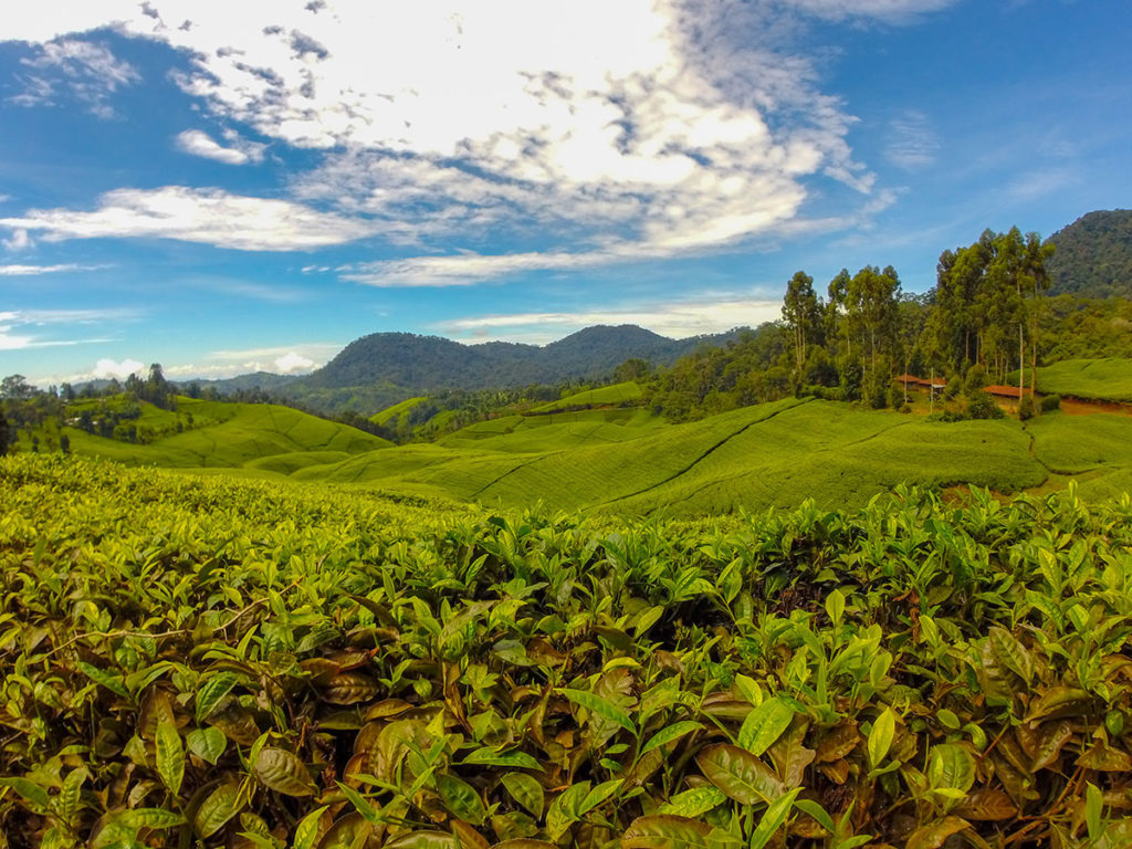What the leaves demand: early research into the activities and influences of tea plants in Kenya's tea industry